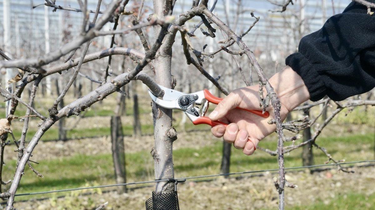 FELCO 2 cắt cành cây trong làm vườn, cây cảnh