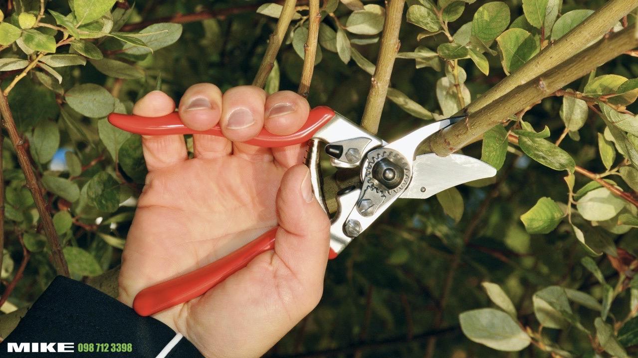 Kéo cắt cành FELCO 6 trong trồng cây ăn trái Swiss Made